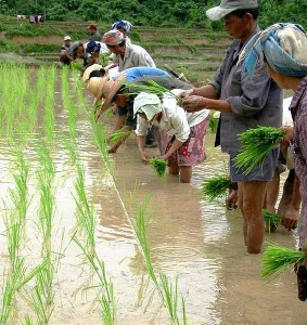 Planting paddy rice in Laos. Image: Stuart Ling.